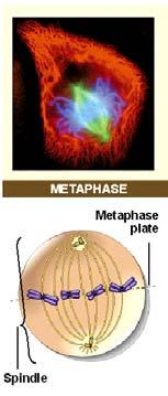 Metaphase begins when the chromosomes are distributed across the metaphase plate, a plane lying between the two poles of the spindle.