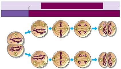 8. In telophase II, the nuclear envelope reappears at each pole and cytokinesis occurs. The end result of meiosis is four haploid.