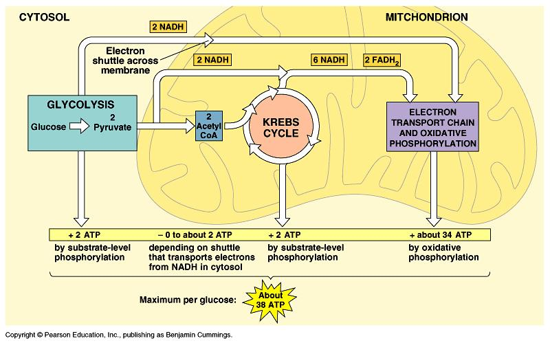 Steps of aerobic respiration 1. Glycolysis 2. Krebs cycle 3.