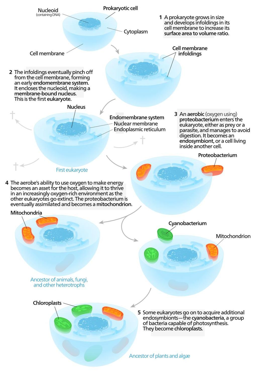 Endosymbiotic Theory Lynn Margulis proposed that certain organelles evolved from a symbiotic relationship between a host cell and early