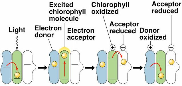 The electrons shared between H and O in the water molecule are of higher energy than the electrons of oxidized chlorophyll.
