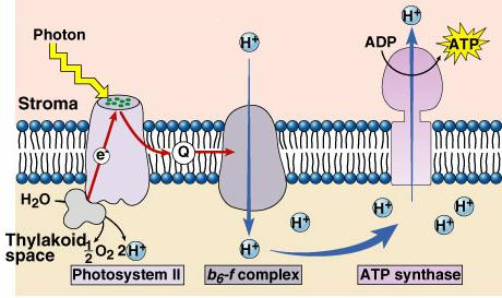 ATP is synthesized by.
