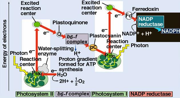 Many plants can use both noncyclic and cyclic photophosphorylation.