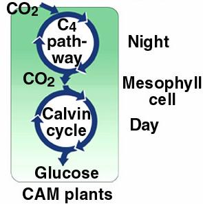 Another group of plants avoids photorespiration using another C 4 system called Crassulacean Acid Metabolism (CAM). CAM plants are the cacti, pineapples, and relatives.