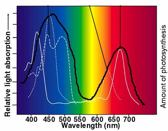 The relative efficiency of different wavelengths of light to power photosynthesis is called the
