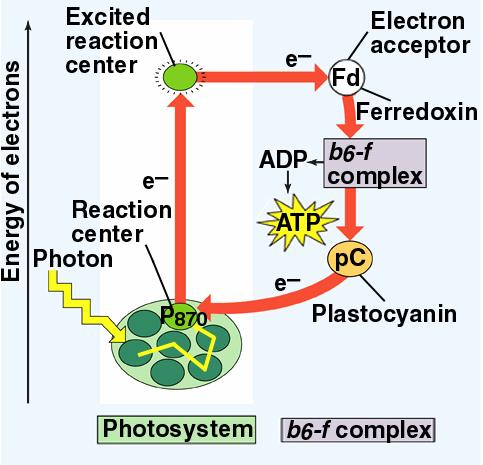 How does light power photosynthesis? Purple sulfur bacteria have a simple system - Light energy is absorbed at the photosystem - an electron is excited.