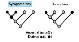 Concepts in Phylogeny A Synapomorphy or Synapomorphic character are used to derive clade definition or confirmation A Homoplasy is a trait