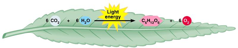 AN OVERVIEW OF PHOTOSYNTHESIS Photosynthesis is the process by which autotrophic organisms use light energy to
