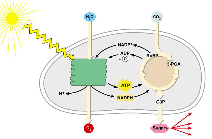 Review: Photosynthesis uses light energy to make food molecules Light Chloroplast Photosystem II Electron transport chains
