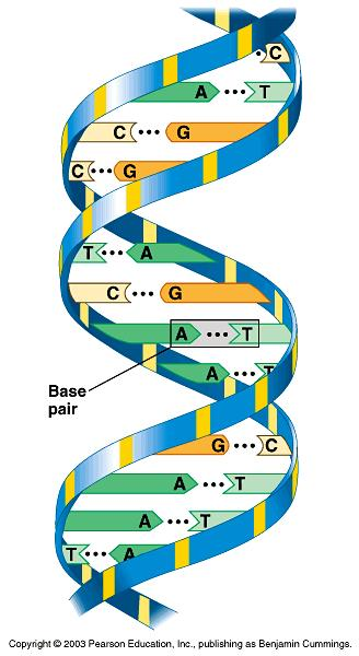 Nucleic Acids are long chains of smaller molecules called nucleotides Nucleotides have 3 parts sugar,