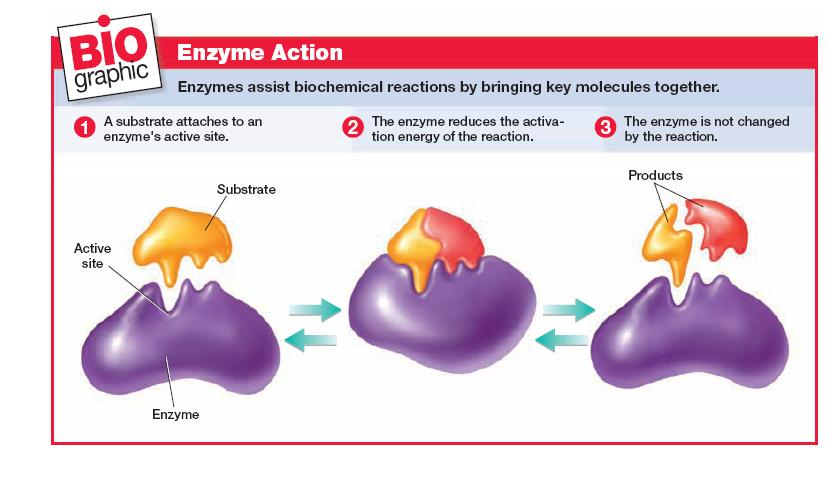 its active site (like a lock and key) Enzymes operate most efficiently in