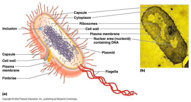 Types of Cells Prokaryotic these organisms lack membranebound organelles.
