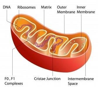 Mitochondria Converts glucose into more usable forms of