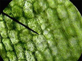 Cell wall The rigid structure yet flexible found surrounding plant cells