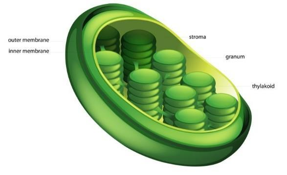 Chloroplast Site of photosynthesis Membrane enclosed organelle,