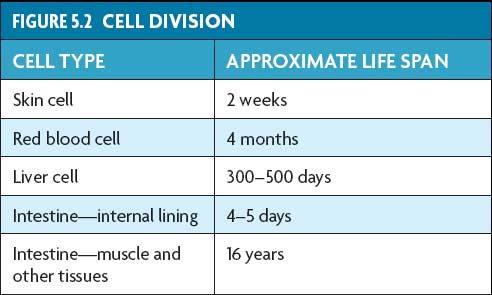 5.1 10.1 The Cell Cell Growth Cycle Cells divide at different rates.