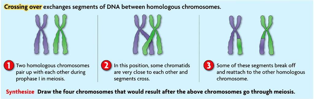 Prophase I - When homologous chromosomes pair up, crossing over may occur.
