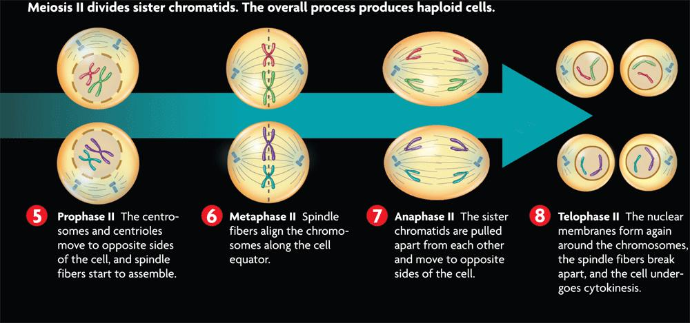 Meiosis II divides sister chromatids in four phases.
