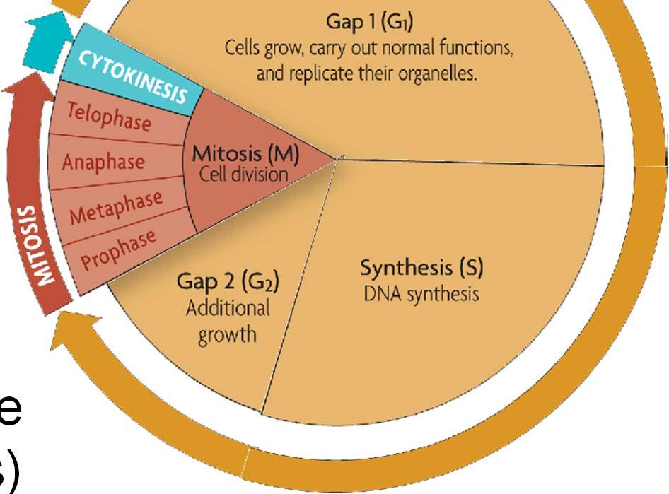 Gap 1 (G 1 ): cell growth and normal functions DNA synthesis (S): copies DNA Gap 2 (G 2 ):