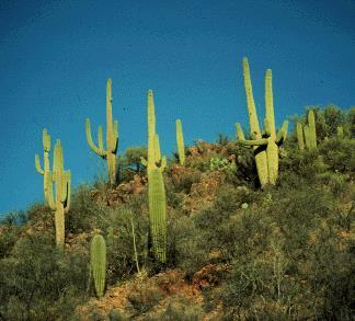 CAM Crassulacean Acid Metabolism These plants are also adapted to hot, dry climates ex: cacti, pineapples, succulents (aloe) Close stomata during day to