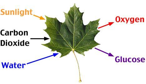 -Plants make sugar from carbon and oxygen in CO 2 and from some