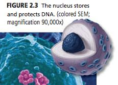 Nucleus 1. Houses DNA 2. Nucleus controls most functions of cell 3.