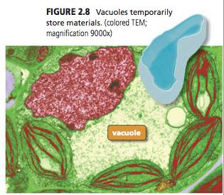 Vacuole Stores materials in cells Water,