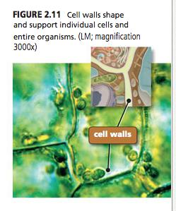 helps support and maintain the shape of the cell 2.