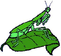 A praying mantis is a green insect. It blends with the leaves and grass. Its forelegs are bent to help it catch food. The praying mantis eats grass hoppers, flies, and many other insects. enemies.