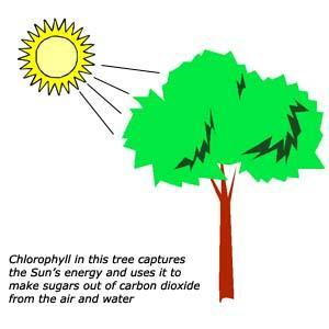 7 What organisms go through photosynthesis?