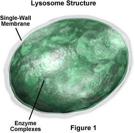 Lysosomes (custodians) Function: breaks down food, waste and worn out