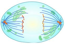 Metaphase The spindle fully develops and the chromosomes align at the