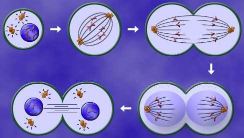 -DNA Replicates (Copies itself) -copied DNA Pairs up -Nuclear membrane Disappears -Paired chromosomes Meet in the middle -chromosomes Are pulled apart -Mitosis is rapid cell division and produces