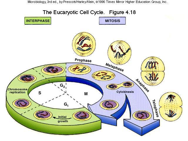 1. The cell cycle Repeating set of events that makes up the life of the cell. a. Stages 1. Interphasetime between cell divisions. 2. Mitosis (M-phase) nucleus divides. 3.