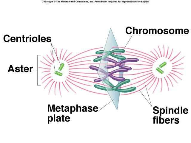 Metaphase Chromosomes, attached to the kinetochore fibers, move to the center of the