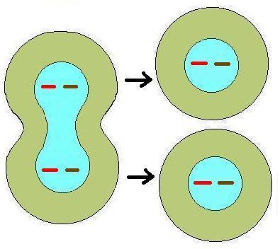 Identical Daughter Cells What is the 2n or diploid number?