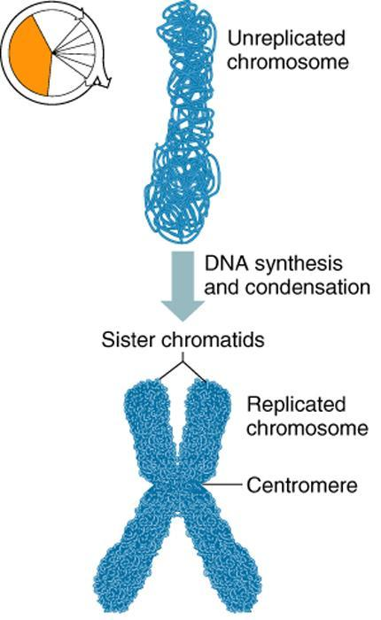 Replication of Chromosomes Replication is the process of duplicating a chromosome Occurs prior to