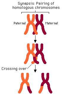Crossing-Over Homologous chromosomes in a tetrad cross over each other Pieces of
