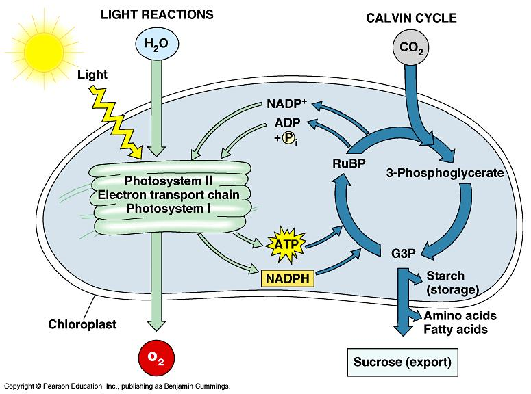 Overview of Photosynthesis: The Light-Dependent Reactions: Where: thylakoids of the chloroplasts Starting materials (reactants): sunlight, water Products: ATP, NADPH, O2.
