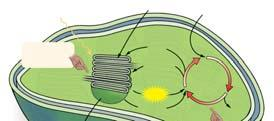O 2 Figure 4.31 4.4 Photosynthesis C fixation Cycle energy reactions occur in the thylakoids.
