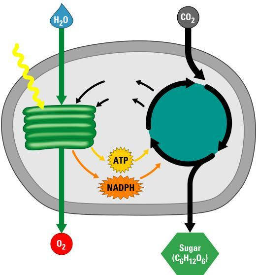 AN OVERVIEW OF PHOTOSYNTHESIS The light reactions convert solar energy to chemical energy Produce ATP & NADPH The Calvin cycle makes sugar from carbon dioxide Light Light reactions Chloroplast NADP