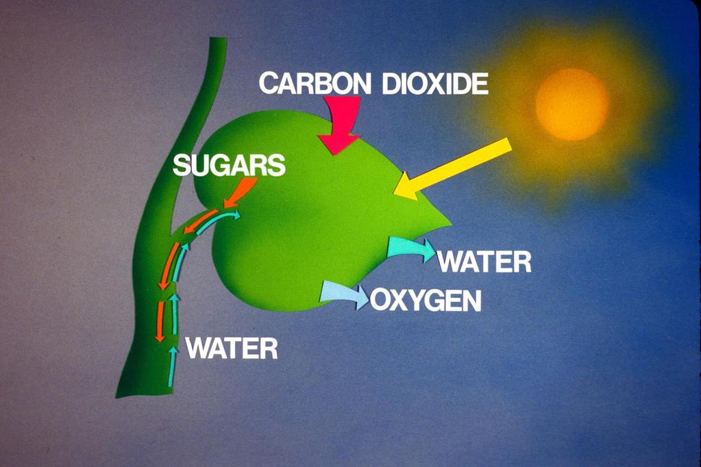 Light Energy Harvested by Plants & Other Photosynthetic
