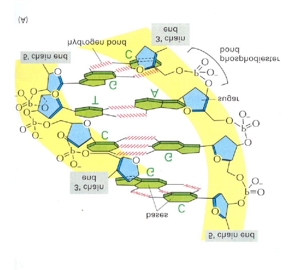 Self-assembly of DNA 4 bases: adenine (A),