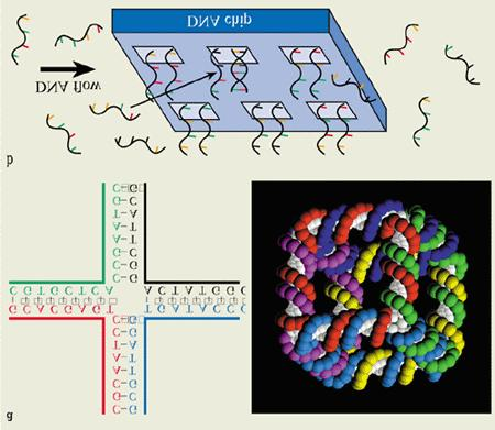 Self-assembly of DNA structures Can structures be designed and self-assembled?