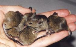 Of Mice and Men Evolving genomes now that we can