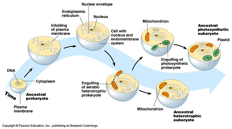 Serial Endosymbiosis Theory The Origins of