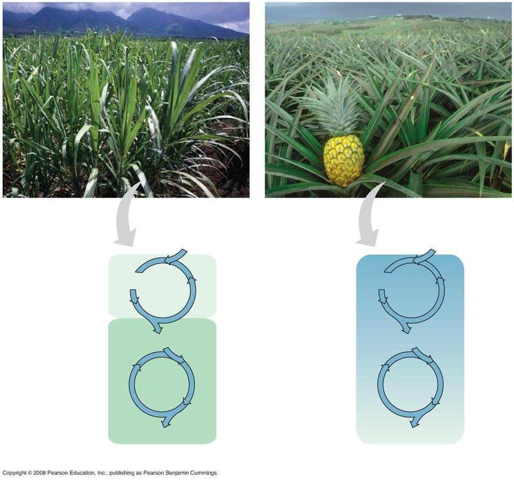 Fig. 10-20 Sugarcane C 4 Pineapple CAM CO 2 CO 2 Mesophyll cell Organic acid 1 CO 2 incorporated into four-carbon organic acids (carbon fixation) Organic acid Night