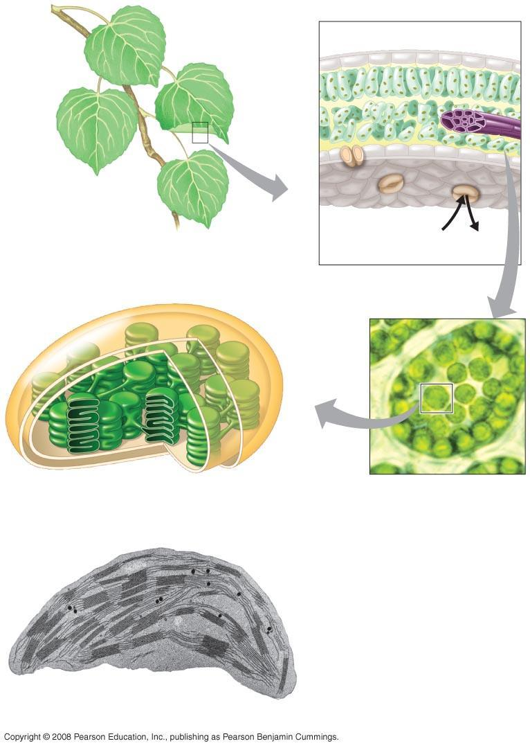 Fig. 10-3 Chloroplasts are found mainly in cells of the mesophyll, the interior tissue of the leaf Mesophyll Leaf cross section Vein A typical mesophyll cell has 30 40 chloroplasts Chloroplast