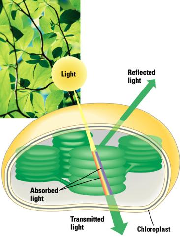 Photosynthetic Pigments When light hits matter it can be reflected, absorbed or transmitted.