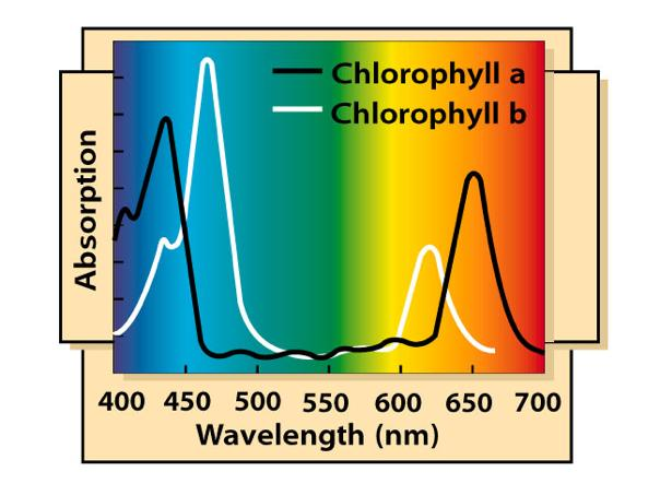Photosynthetic Pigments An graph plotting a pigment s light absorption versus wavelength is called an absorption spectrum.